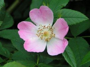 wild-rose-20